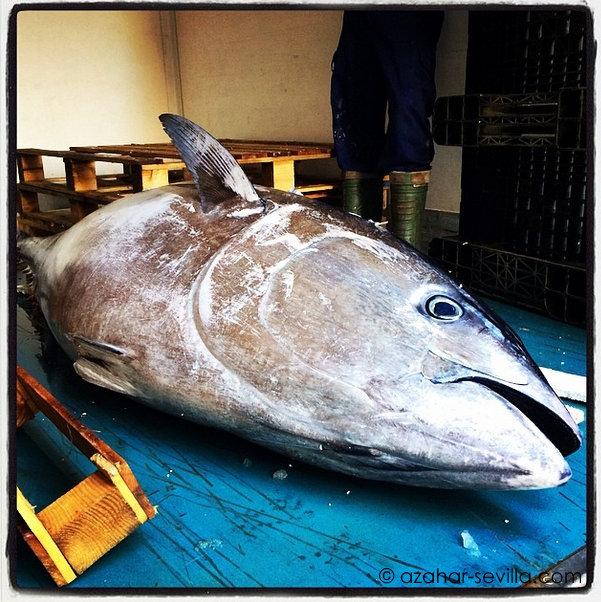 ronqueo azotea tuna almadraba